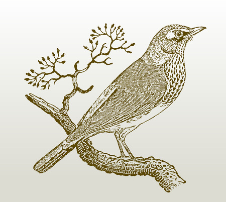 Fieldfare (turdus pilaris) sitting on a branch. Illustration after a woodcut engraving from the early 19th century. Easy editable in layers Stok Fotoğraf - 121823156