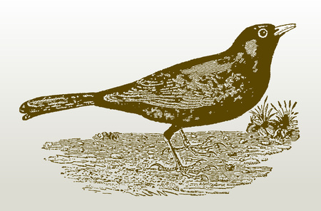 Common blackbird (turdus merula) sitting on the ground. Illustration after a woodcut engraving from the early 19th century. Easy editable in layers Ilustracja