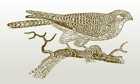 Female common kestrel (falco tinnunculus) sitting on a branch holding a prey in its claw. Illustration after a woodcut engraving from the early 19th century. Easy editable in layers