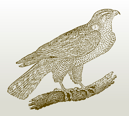 Northern goshawk (accipiter gentilis) sitting on a branch. Illustration after a woodcut engraving from the early 19th century. Easy editable in layers