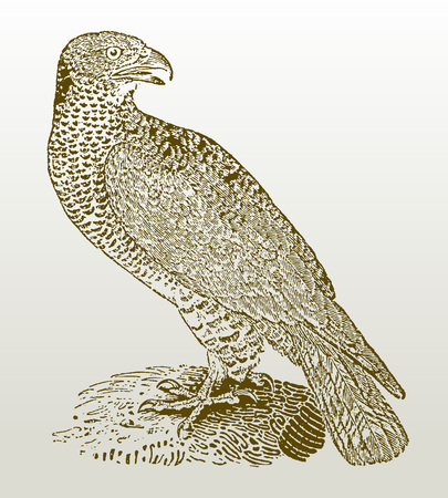 European honey buzzard (pernis apivorus) sitting on a rock. Illustration after a woodcut engraving from the early 19th century. Easy editable in layers  イラスト・ベクター素材