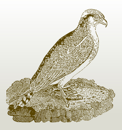 Osprey (pandion haliaetus) sitting on a rock. Illustration after a woodcut engraving from the early 19th century. Easy editable in layers