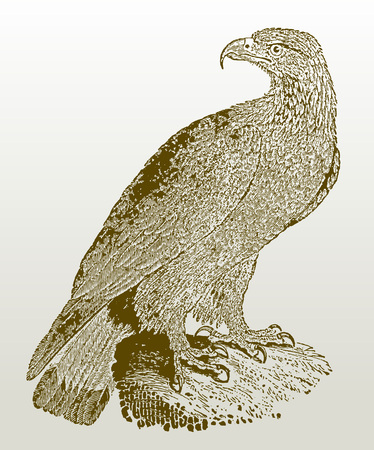 Juvenile golden eagle (aquila chrysaetos) sitting on a rock. Illustration after a woodcut engraving from the early 19th century. Easy editable in layers