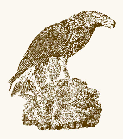 Juvenile golden eagle (aquila chrysaetos) with a captured rabbit sitting on a rock. Illustration after a vintage engraving from the 19th century