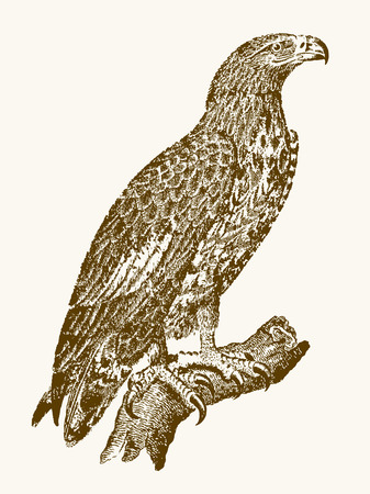 White-tailed eagle or gray sea eagle (haliaeetus albicilla) in profile view sitting on a branch. Illustration after a vintage engraving from the 19th century