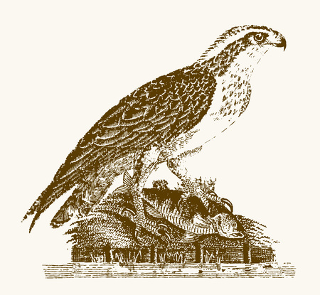 Osprey or sea hawk (pandion haliaetus) with a captured fish sitting on a shore of a water. Illustration after a vintage engraving from the 19th century Illustration