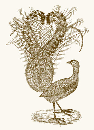 Superb lyrebird (menura novaehollandiae) with an elaborate tail. Illustration after a vintage engraving from the 19th century 일러스트