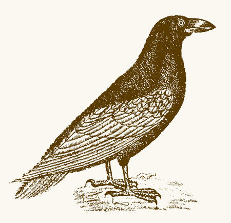 common raven (corvus corax) in profile view sitting on the ground. Illustration after a vintage engraving from the 19th century