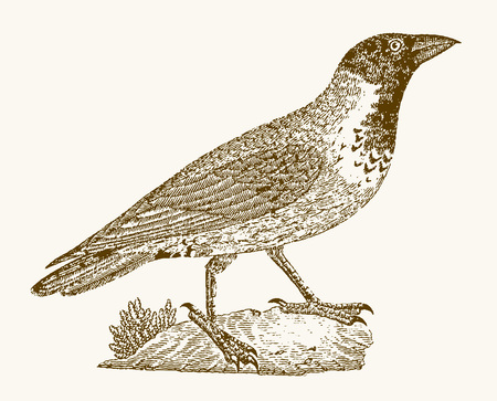 Hooded crow (corvus cornix) in profile view sitting on the ground. Illustration after a vintage engraving from the 19th century