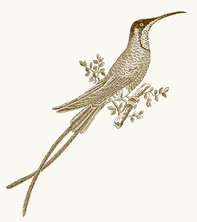 Crimson topaz (topaza pella) hummingbird with long tail feathers sitting on a branch. Illustration after a vintage engraving from the 19th century