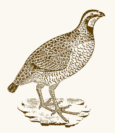 Red-legged partridge (alectoris rufa) sitting on a branch. Illustration after a vintage engraving from the 18th century Illustration