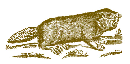 Eurasian or european beaver (castor fiber) showing the teeth. Illustration after a historic woodcut engraving from the 17th century