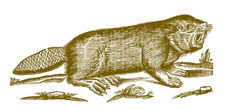 Castor euroasiático o europeo (fibra de ricino) mostrando los dientes. Ilustración después de un histórico grabado en madera del siglo XVII. Ilustración de vector