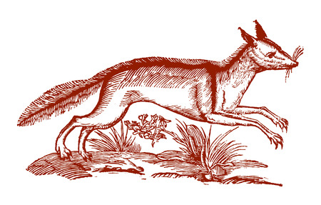 A jumping red fox (vulpes vulpes). Illustration after a historic woodcut engraving from the 17th century 向量圖像