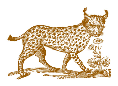 Eurasian lynx in profile view. Illustration after a historic woodcut engraving from the 17th century