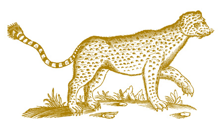 Leopard (panthera pardus) in profile view. Illustration after a historic woodcut engraving from the 17th century