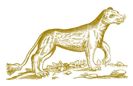 León hembra (panthera leo) levantando la pata. Ilustración después de un histórico grabado en madera del siglo XVII.