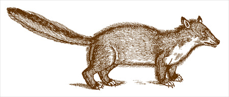 Weasel or marten with an erect tail in profile view. Illustration after a historic woodcut engraving from the 16th century