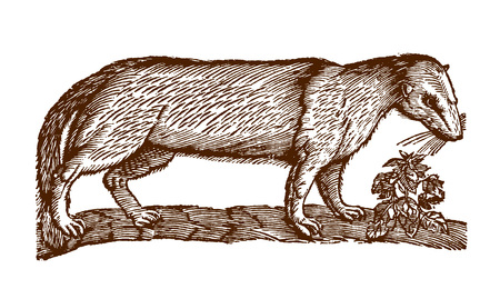 European polecat (mustela putorius) next to a plant. Illustration after a historic woodcut engraving from the 17th century