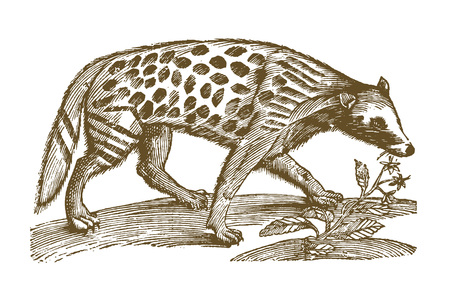 Genet (genetta) sitting next to a pecking bird. Illustration after a historic woodcut engraving from the 17th century