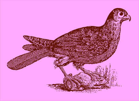 Cute predator: eurasian hobby sitting on a captured toad or frog. Illustration after a historic woodcut engraving from the 17th century. Easy editable in layers