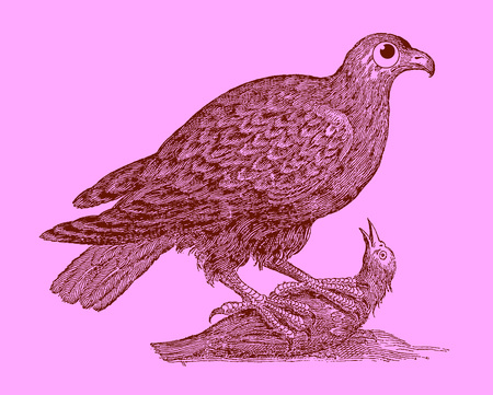 Hunting bird of prey: eagle sitting on a captured bird. Illustration after a historic woodcut engraving from the 17th century. Easy editable in layers