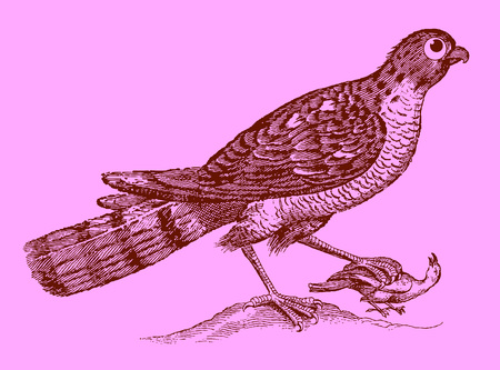 Cute predator: eurasian sparrowhawk holding a captured bird in the claw. Illustration after a historic woodcut engraving from the 17th century. Easy editable in layers