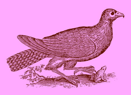 Cute predator: buzzard or hawk catching a frog or toad. Illustration after a historic woodcut engraving from the 17th century. Easy editable in layers