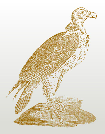Lappet-faced vulture or nubian vulture (torgos tracheliotos) sitting on a rock. Illustration after a historic woodcut or engraving from the 19th century