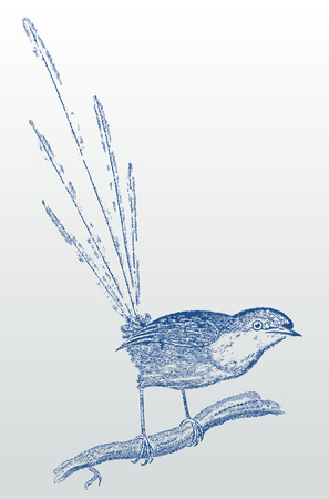 Blue-breasted fairywren (malurus pulcherrimus) sitting on a branch. Illustration after a historic woodcut or engraving from the 19th century