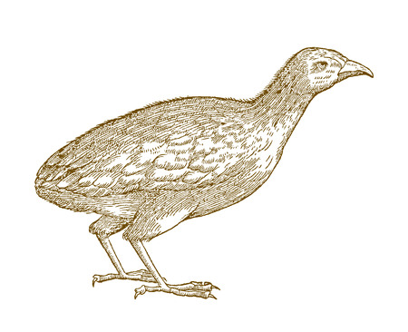 Common quail (coturnix) or european quail. Illustration after a historic woodcut from the 16th century Çizim