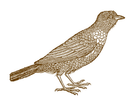 Ring ouzel (turdus torquatus) in profile view. Illustration after a historic woodcut from the 16th century