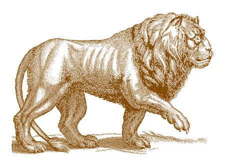 Walking male lion (panthera leo) in profile view. Illustration after a historic engraving from the 17th century