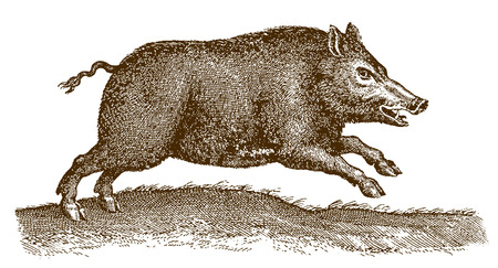 Jumping wild boar (sus scrofa) in a landscape. Illustration after a historic engraving from the 17th century