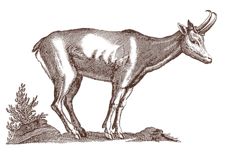 Chamois (rupicapra) in profile view standing in a landscape. Illustration after a historic engraving from the 17th century