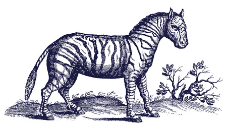 Zebra (equus quagga) in profile view in a savannah landscape. Illustration after a historic engraving from the 17th century