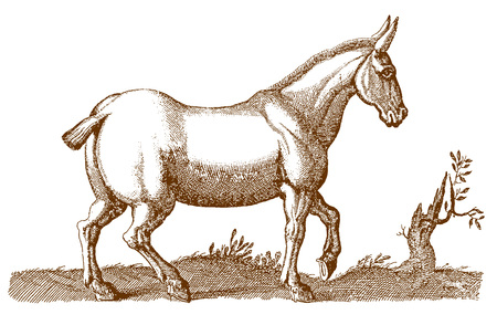 Mule or hinny with a cropped tail walking in a landscape. Illustration after a historic engraving from the 17th century
