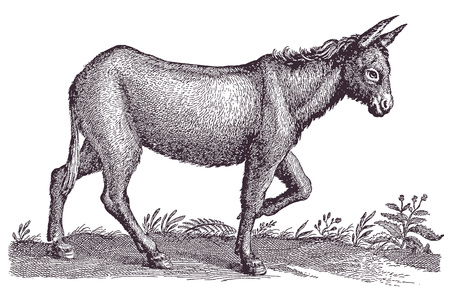 Donkey or ass (equus africanus asinus) in profile view walking in a landscape. Illustration after a historic engraving from the 17th century
