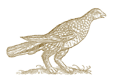 Calling rock ptarmigan (lagopus muta) in profile view. Illustration after a woodcut from the 16th century Ilustração