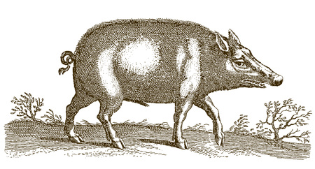 Wild boar (sus scrofa) walking in a landscape. Illustration after a historic engraving from the 17th century Çizim