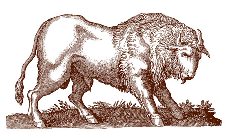 Buffalo or bison (bos bison) in profile view. Illustration after a historic engraving from the 17th century  イラスト・ベクター素材