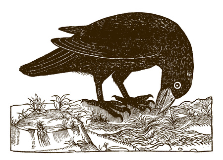 Common raven (corvus corax) catching a worm. Illustration after a historic woodcut engraving from the 16th century Иллюстрация