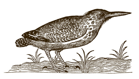 Eurasian bittern or great bittern (botaurus stellaris) sitting on the ground between grasses. Illustration after a historic woodcut engraving from the 16th century