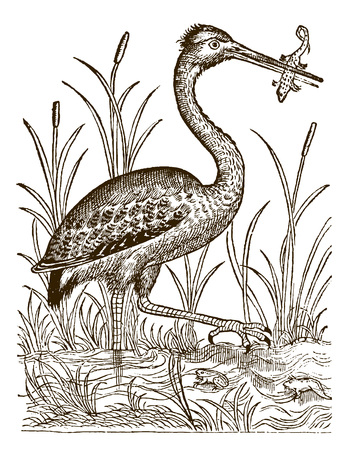 Grey heron (ardea cinerea) catching prey. Illustration after a historic woodcut engraving from the 16th century