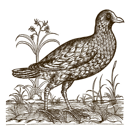 Eurasian coot (fulica atra) sitting between the reeds and grasses on the bank of a water body. Illustration after a historic woodcut engraving from the 16th century