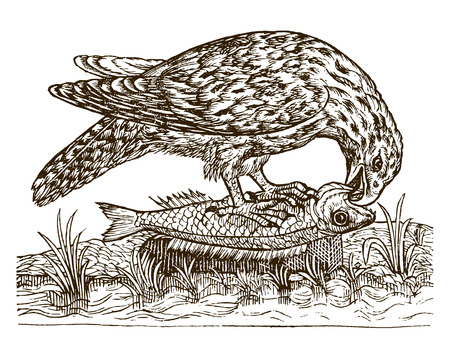 Osprey (pandion haliaetus) eating a catched fish. Illustration after a historic woodcut engraving from the 16th century