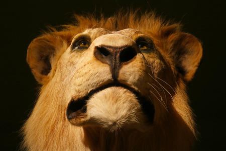 Impressive head of a proud looking stuffed male lion (panthera leo) taxidermy in closeup frontal view in dramatic lighting Standard-Bild
