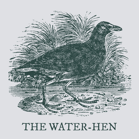 The water-hen. Illustration after a vintage woodcut engraving from the 19th century. Easy editable in layers