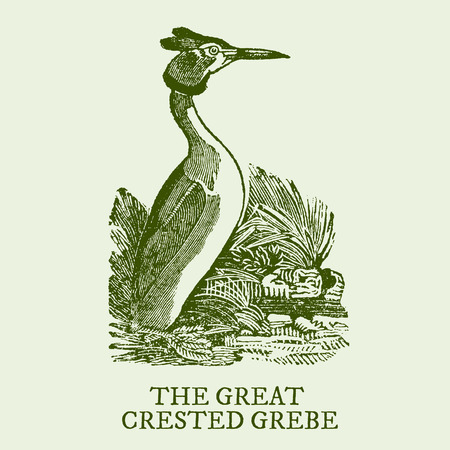 The great crested grebe. Illustration after a vintage woodcut engraving from the 19th century. Easy editable in layers Иллюстрация