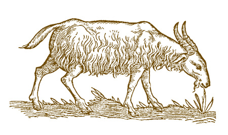 Shaggy goat (capra aegagrus) in profile view eating a grass plant. Illustration after a historic woodcut from the 16th century